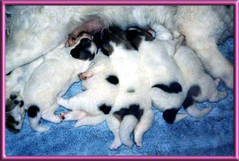 Great Pyrenees Puppies At 2 Weeks